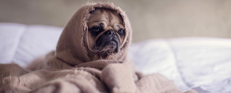 Cățel acoperit de o pătură.