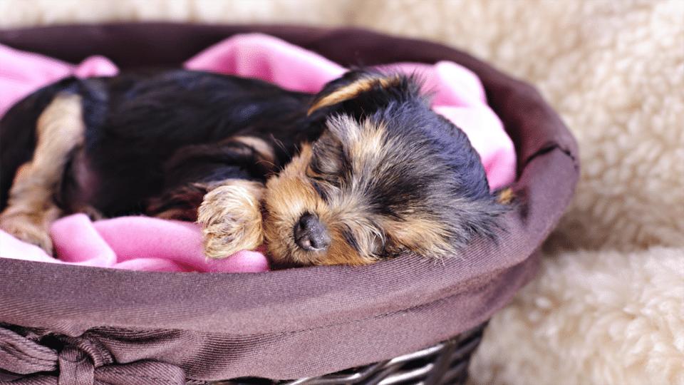 Pui de cățel dormind într-un coș.