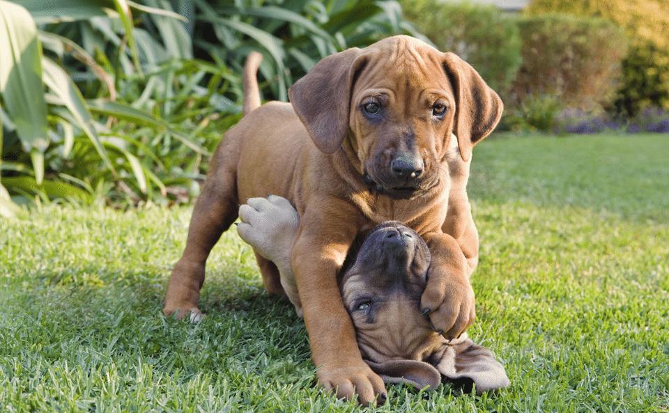 Doi cățeluși jucându-se în iarbă.