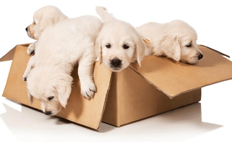 Patru pui de cățel într-o cutie de carton.
