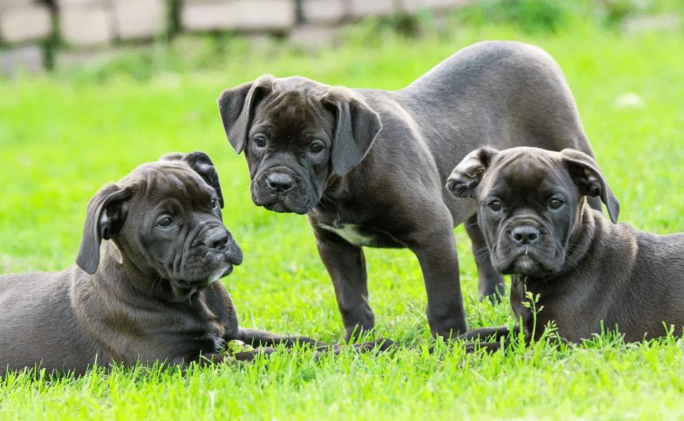 Trei cățeluși stând în iarbă.