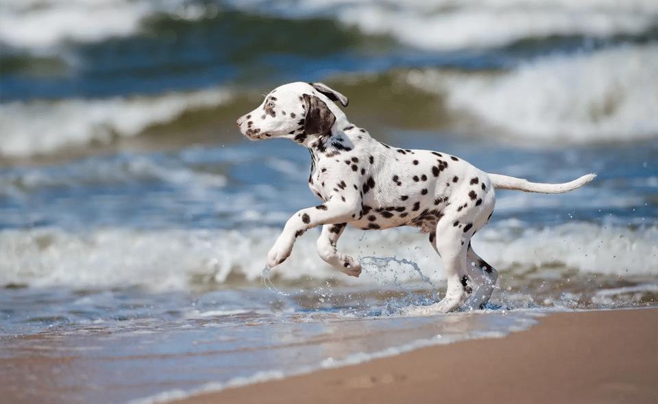 giardia comportand hond