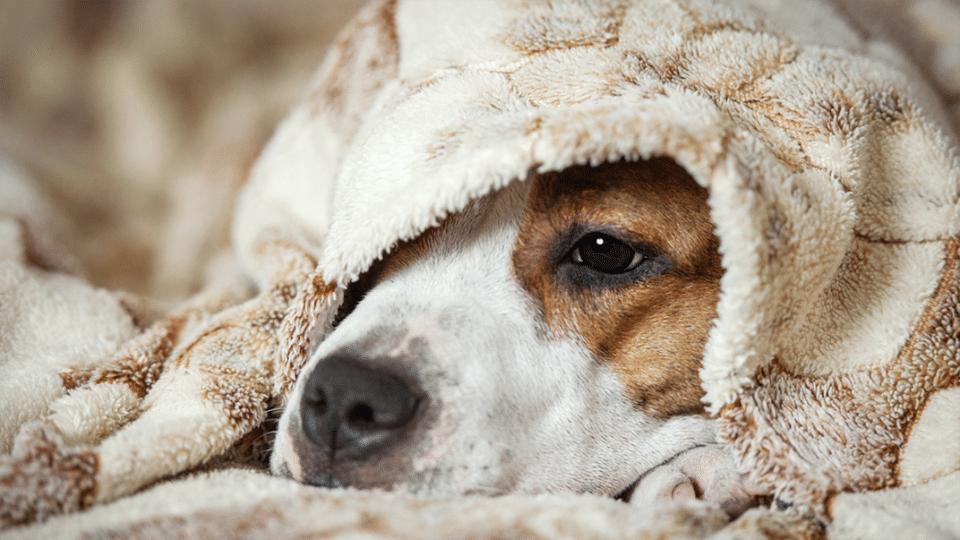 giardia la un câine)