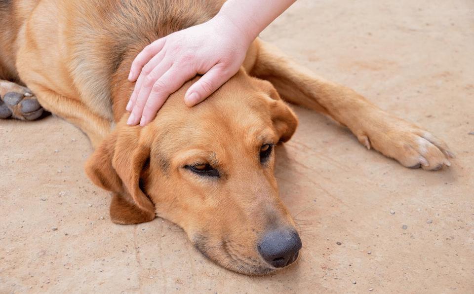 Câine culcat mângăiat pe cap de stăpână.