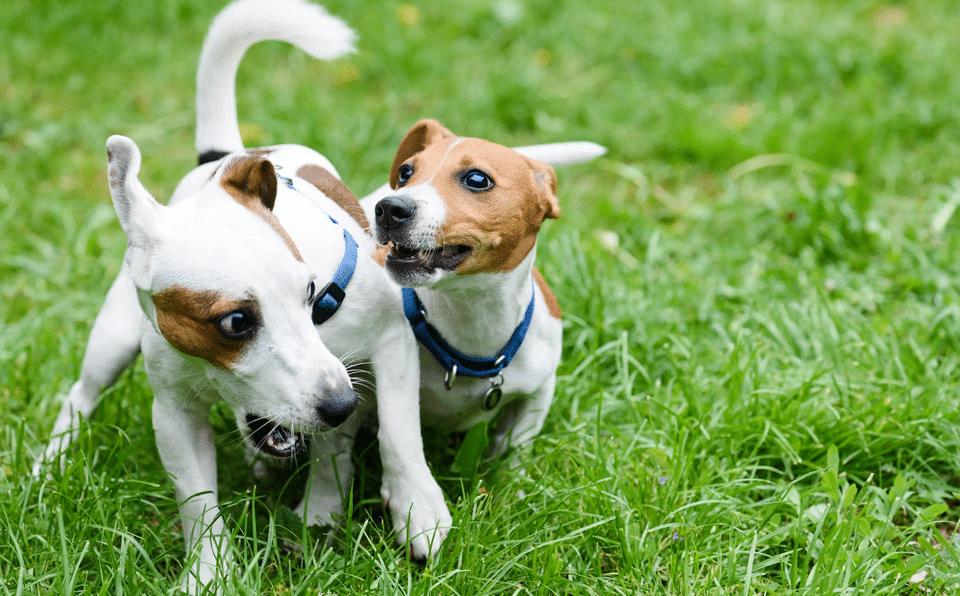 Doi câini jucându-se în iarbă.
