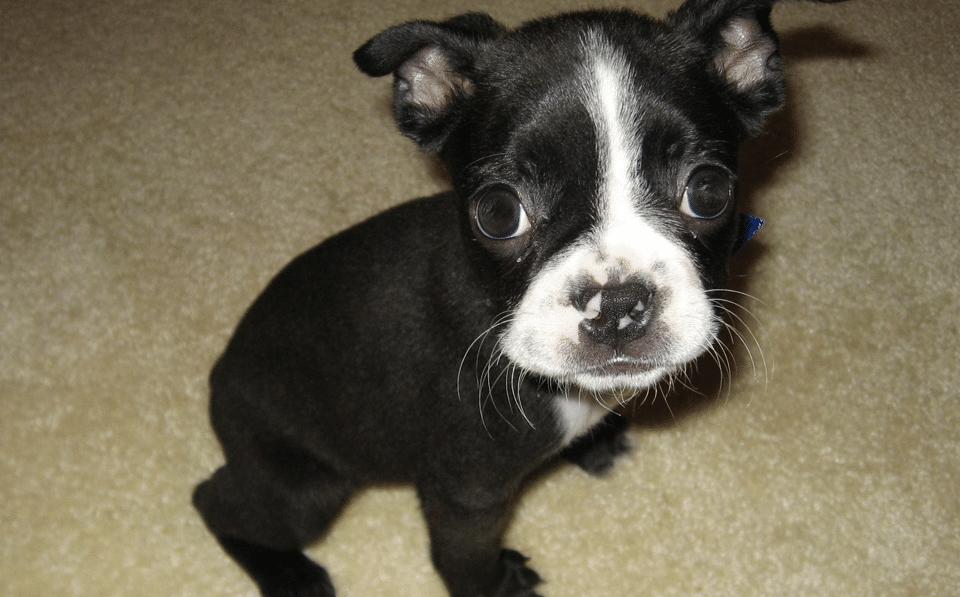 Pui de Boston Terrier