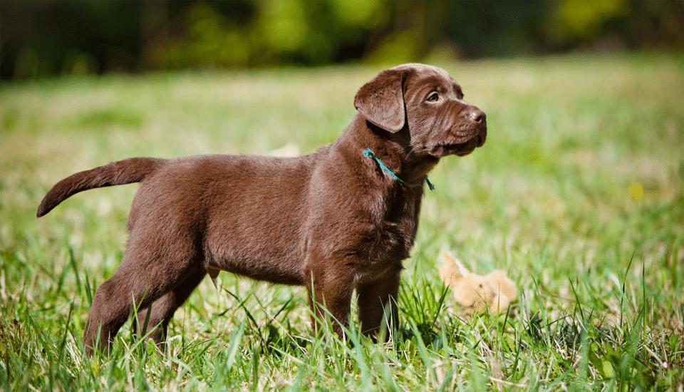Labrador Retriever ciocolatiu