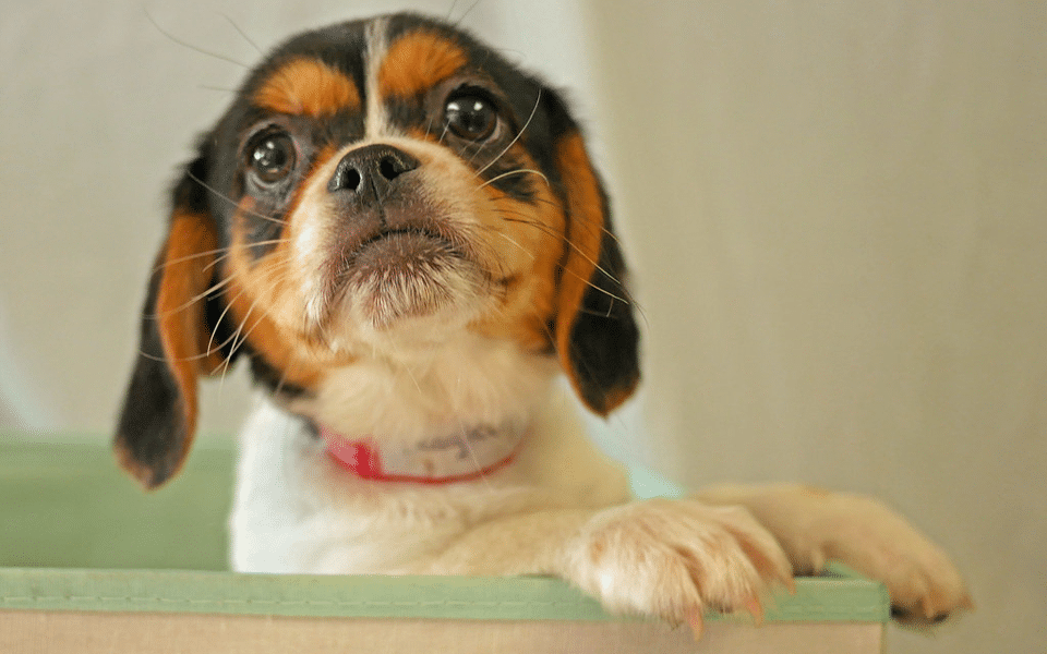 Pui de Pekinez Beagle