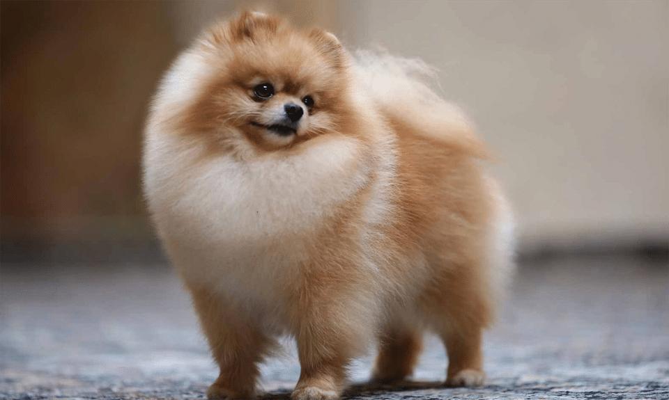 Pui de Pomeranian.