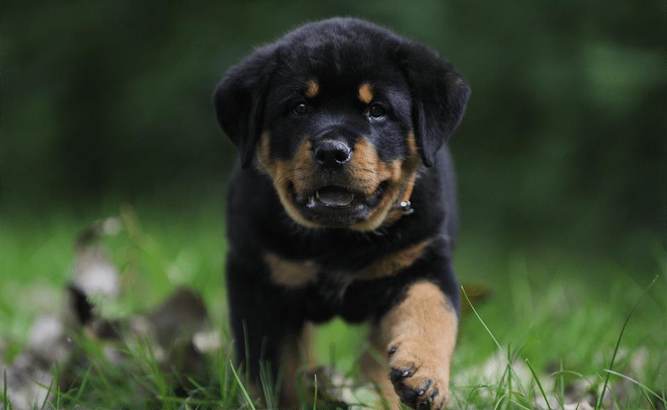 Pui de Rottweiler