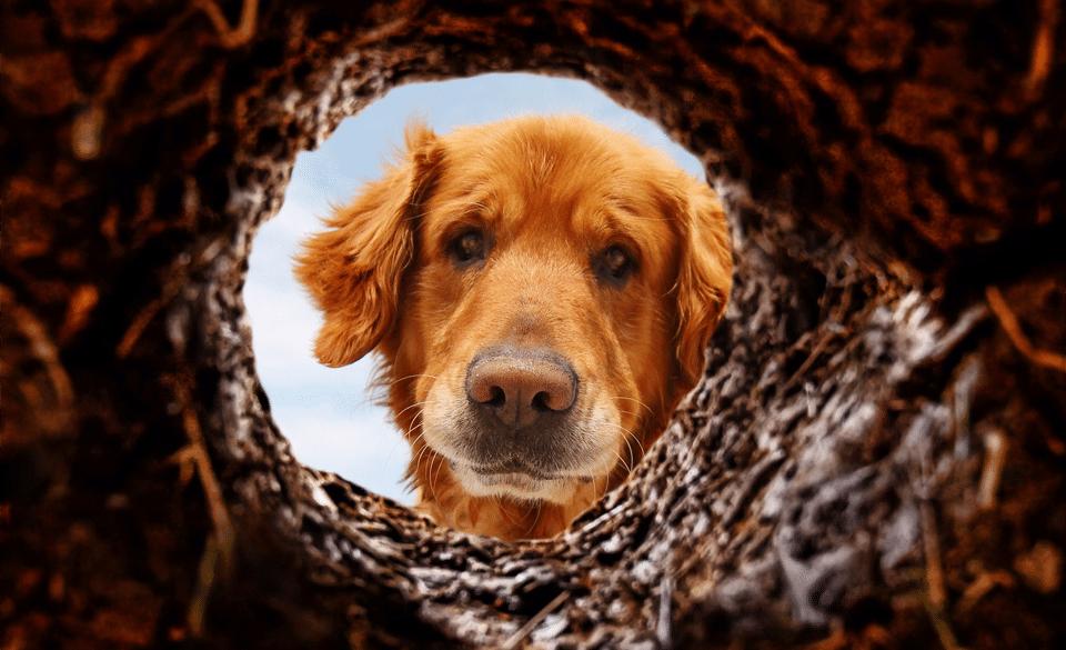 Câine uitându-se într-o gaură în pământ.
