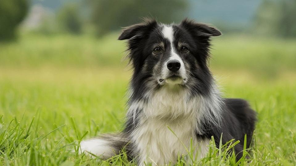 Câine rasa Border Collie stând culcat în iarbă.
