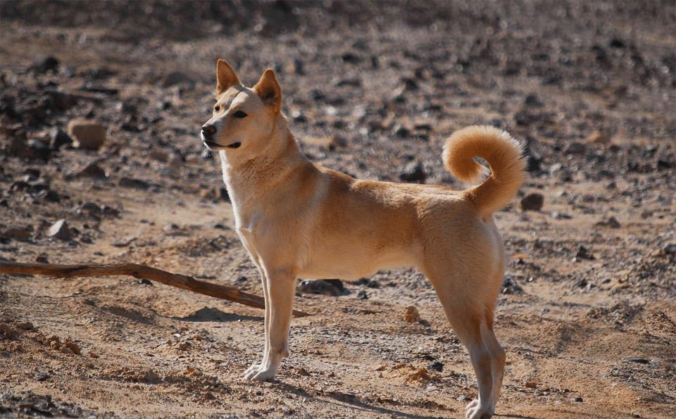 Câine Canaan stând pe pământ.
