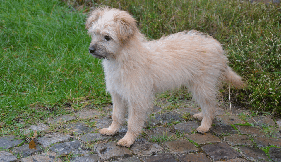 Pui de câine Ciobănesc de Pirinei (Pyrenean Shepherd).