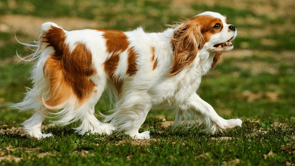 Câine Epagneul Cavalier King Charles mergând pe iarbă.