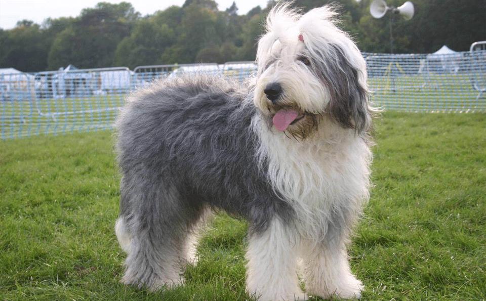 Câine ciobănesc englezesc stând pe iarbă.