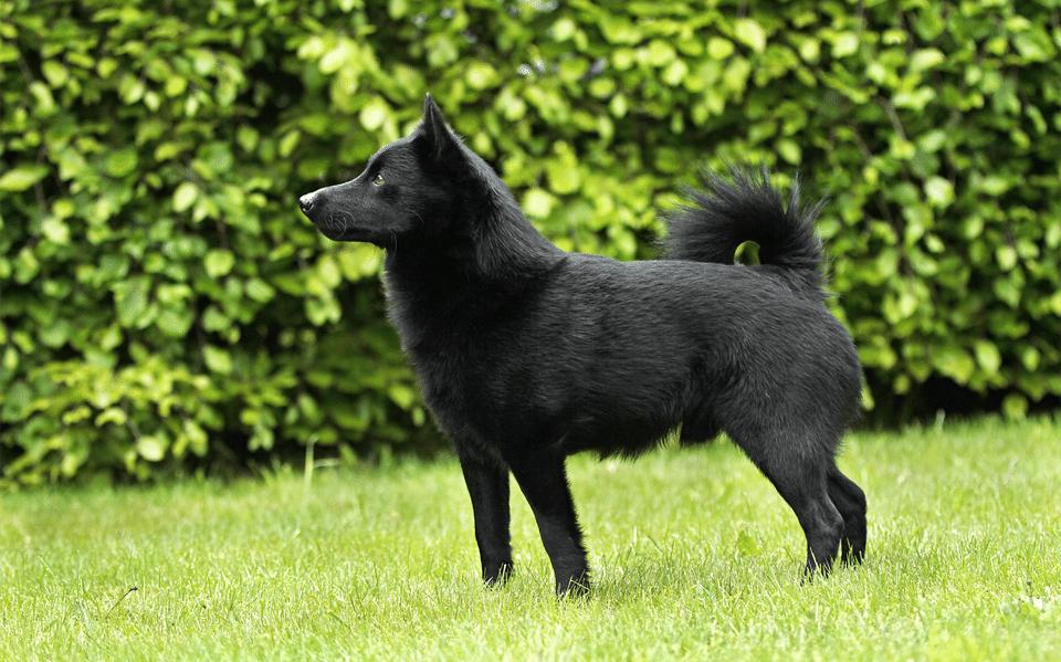 Câine Schipperke văzut din profil stând în iarbă.