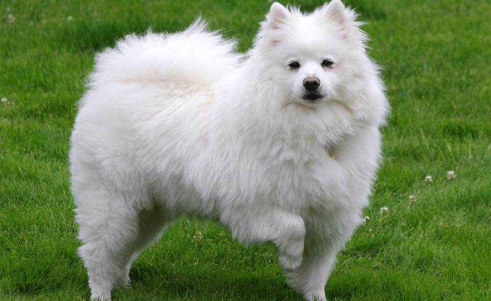 Câine Eskimo American (Eskie) stând în iarbă.