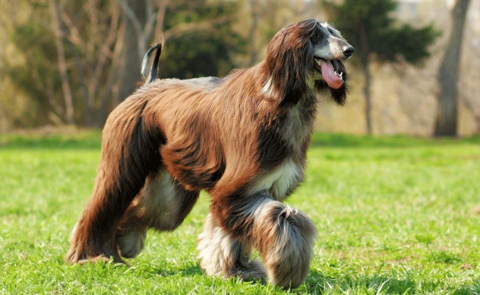 Câine Ogar afgan alergând pe iarbă.