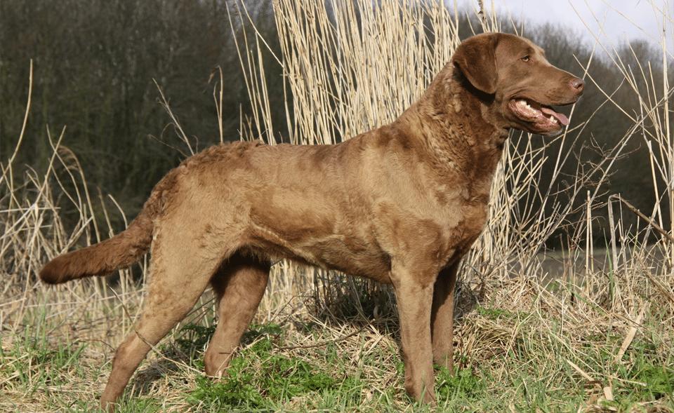 Câine Chesapeake Bay Retriever stând în iarbă.