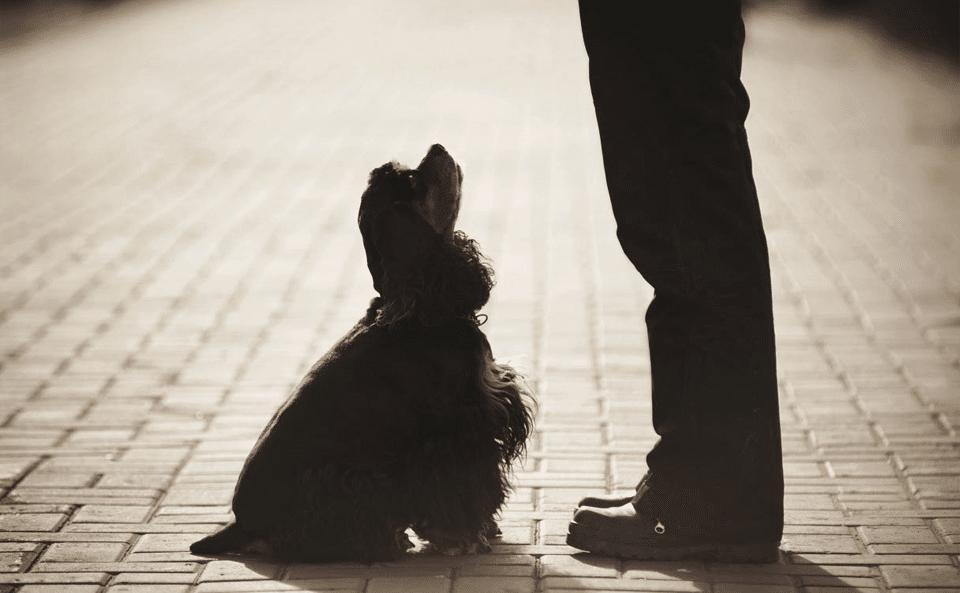 Câine în poziția șezi uitându-se la stăpân.