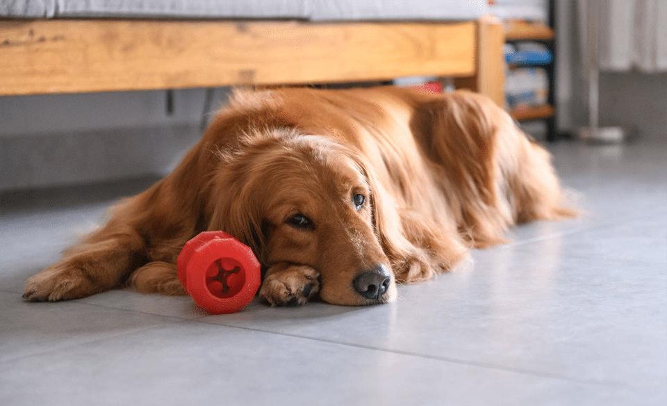 Câine stând pe podea lângă o jucărie roșie.