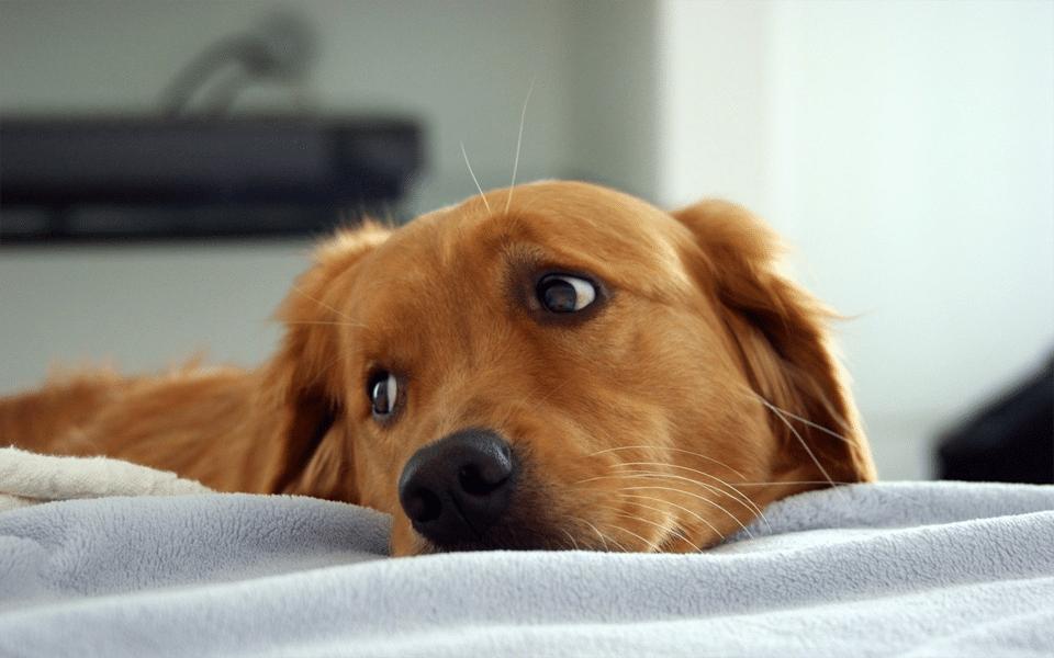 Câine plictisit stând în pat.