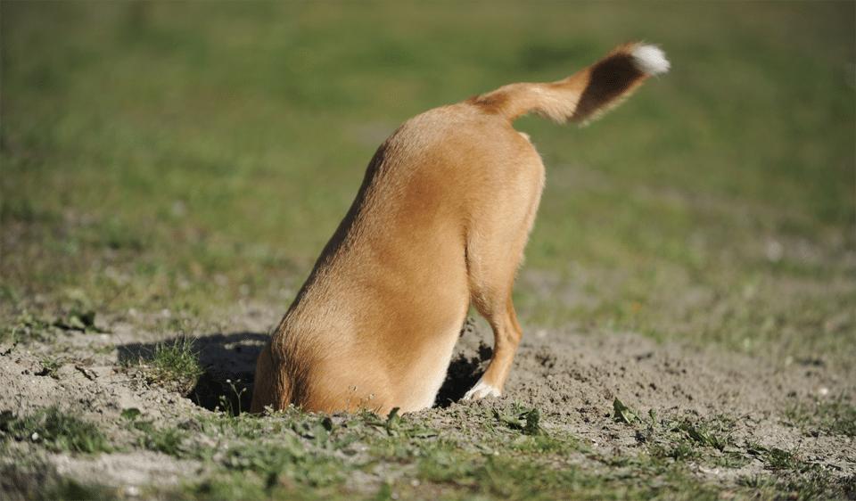 Cățel săpând o groapă în pământ.