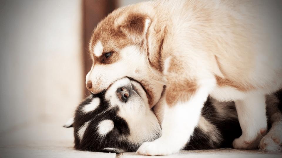 Doi pui de Husky jucându-se.