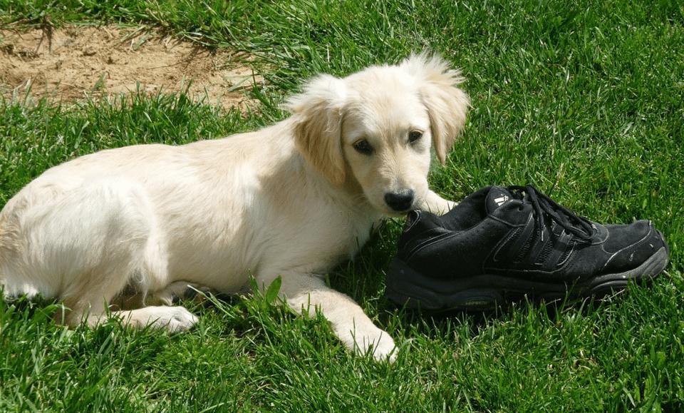 Cățeluș stând în iarbă lângă un adidas negru.