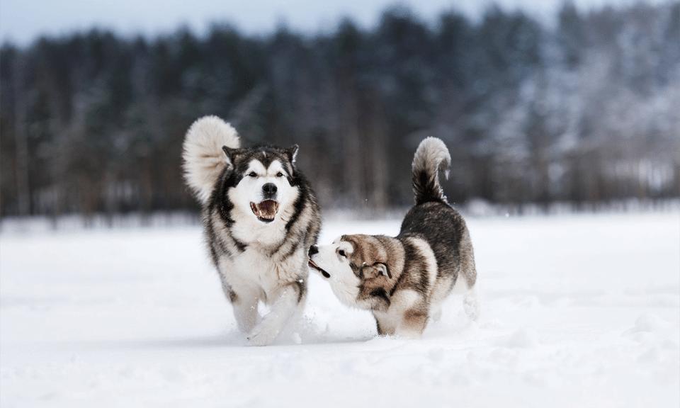 Doi Husky Siberieni alergând în zăpadă.