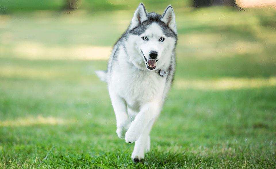 Husky Siberian alergând pe iarbă.