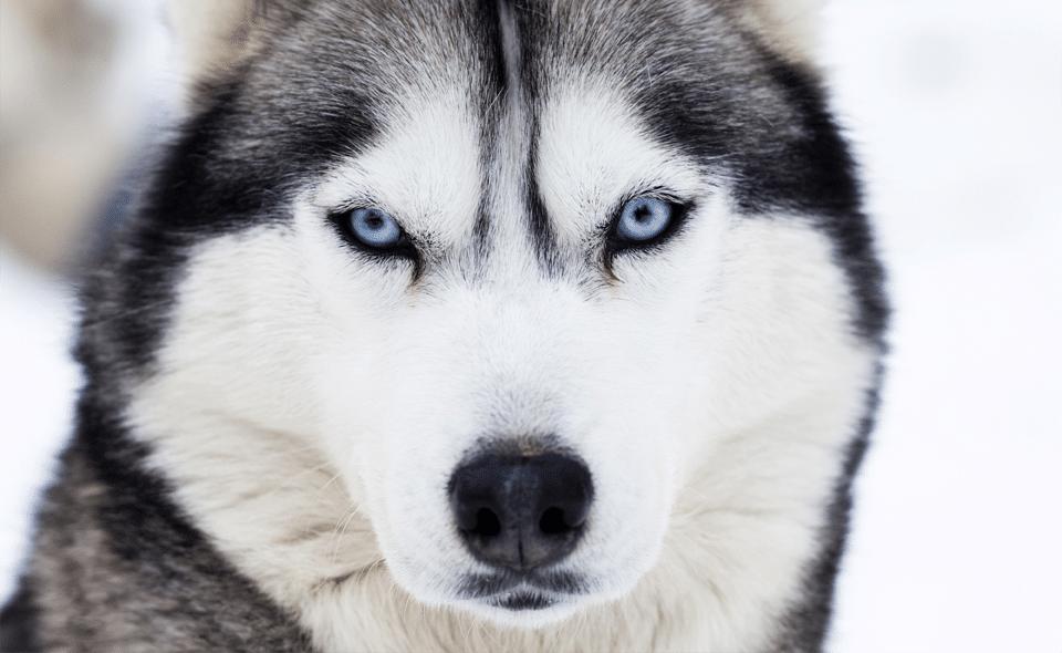 Husky Siberian văzut de aproape.