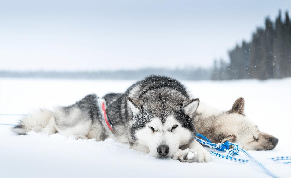 Husky Siberieni dormind în zăpadă.