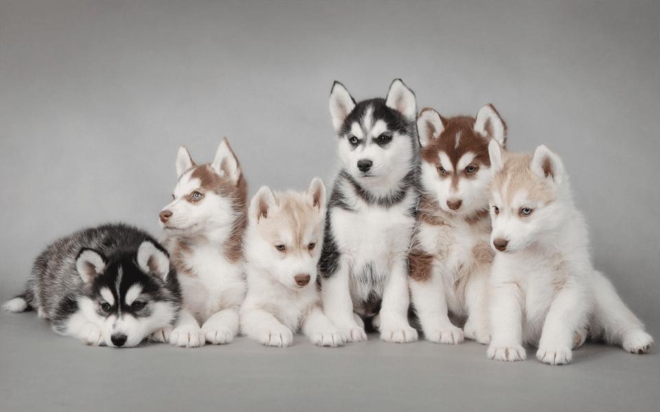 Șase pui de Husky Siberian stând unul lângă altul.