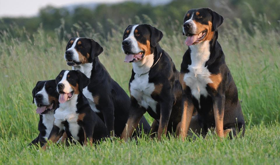 Cinci câini din rasa Marelui câine de munte elvețian stând pe iarbă.