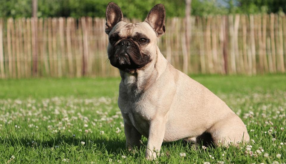 Câine Bulldog stând în iarbă.