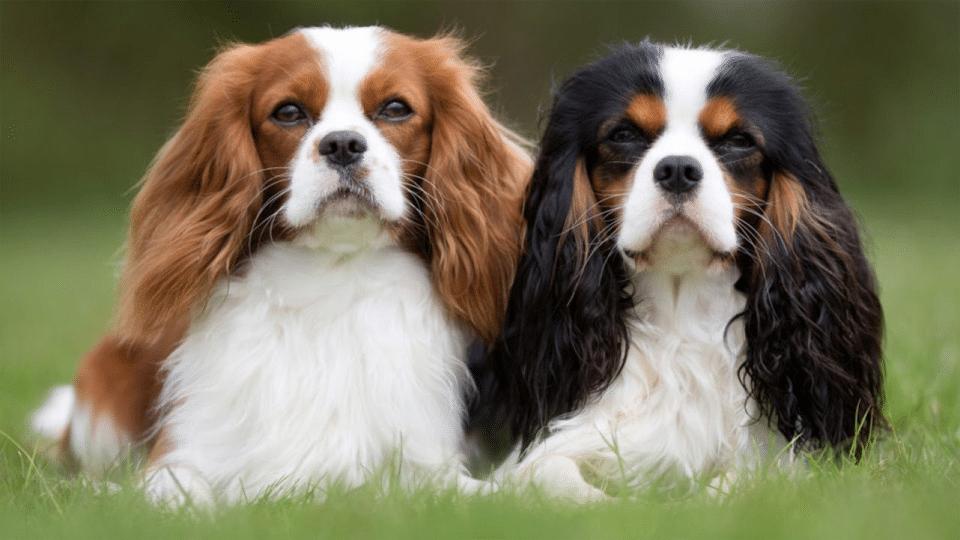 Doi câini Epagneul Cavalier King Charles stând culcați în iarbă.