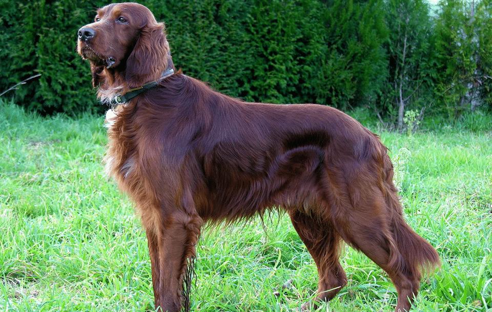 Câine rasa Setter irlandez stând în iarbă.