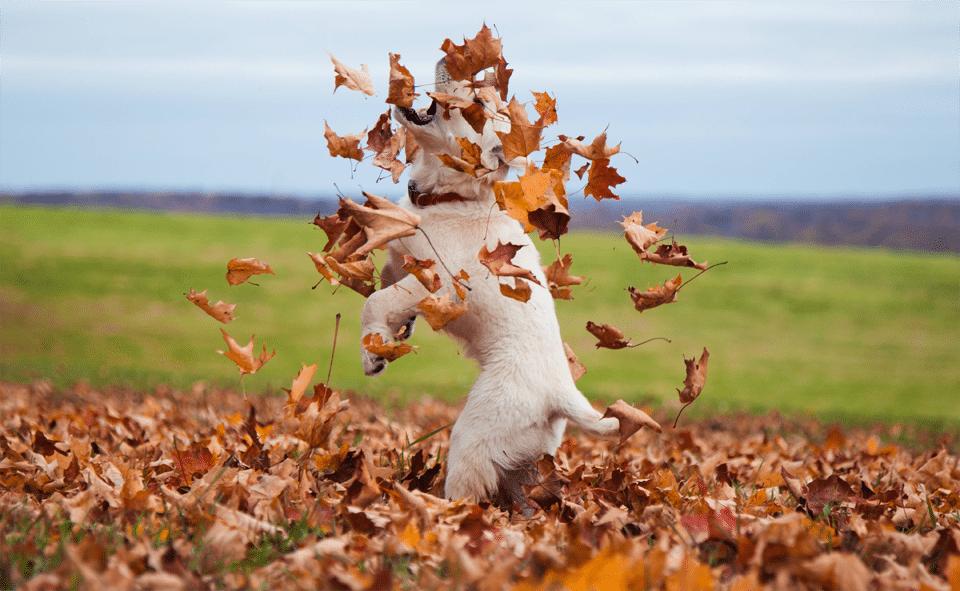 Cățeluș jucându-se cu frunze uscate.