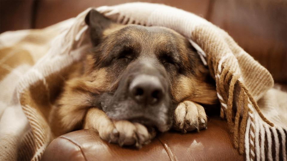 Câine ciobănesc german dormind cu o pătură în cap.