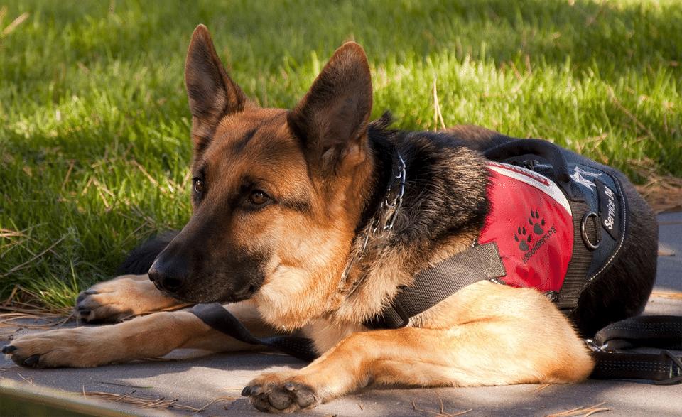 Câine ciobănesc german utilitar odihnindu-se.