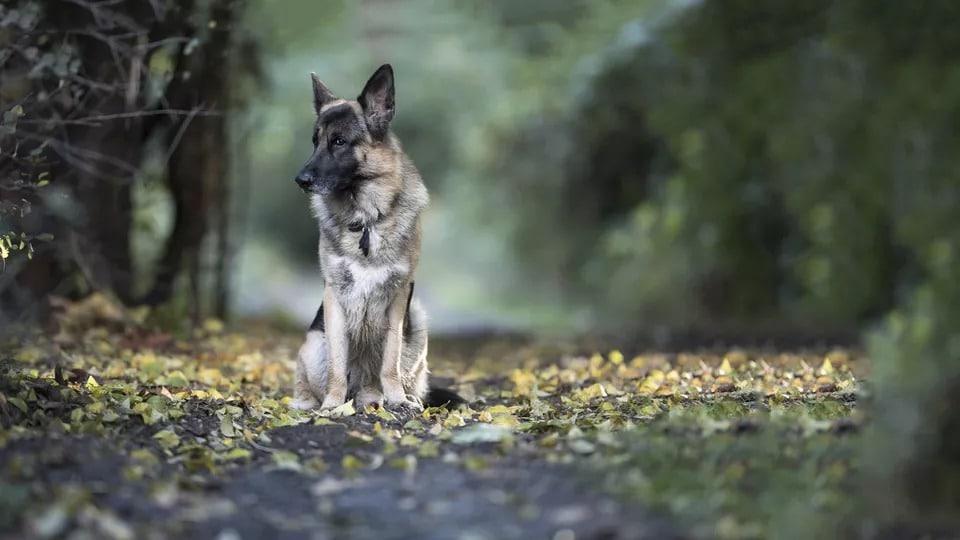 Câine ciobănesc german stând în fund în pădure.