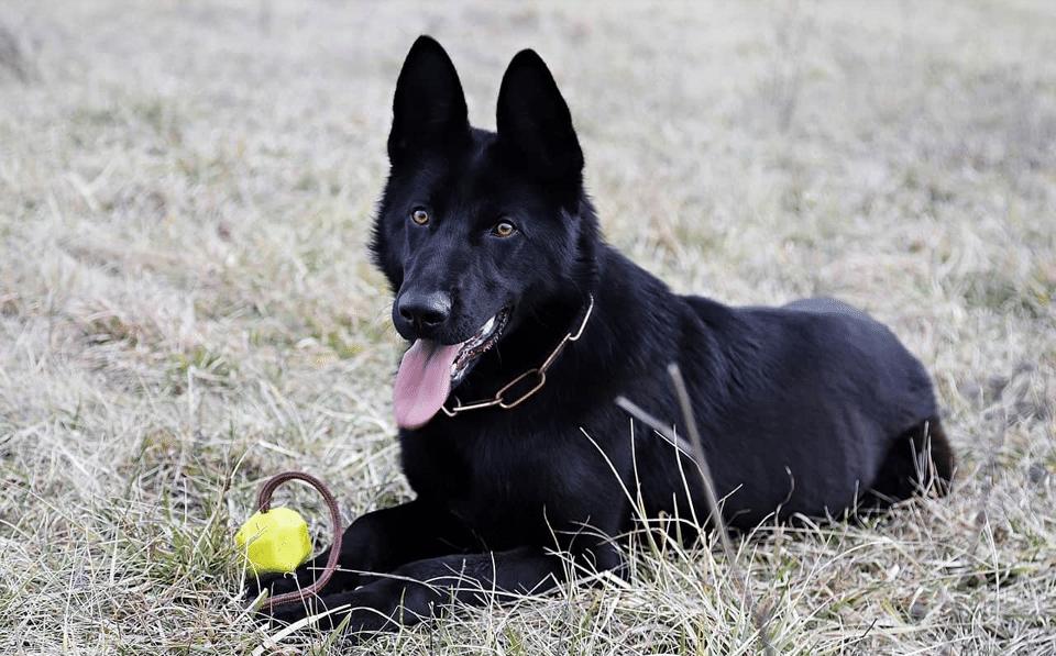 Câine ciobănesc german negru stând culcat în iarbă.