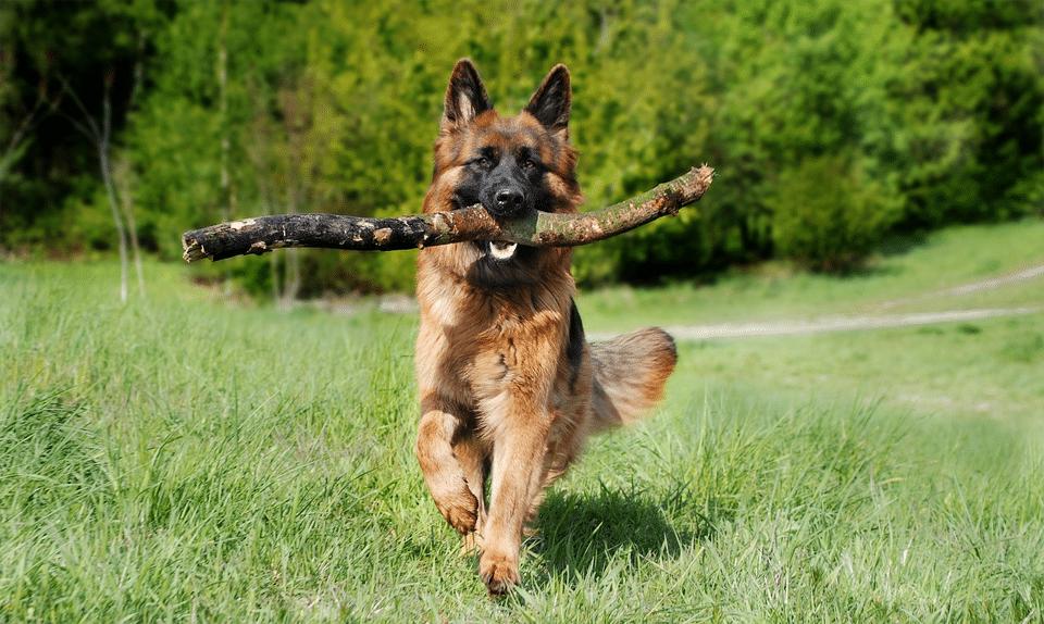 Câine ciobănesc german alergând cu un băț în gură