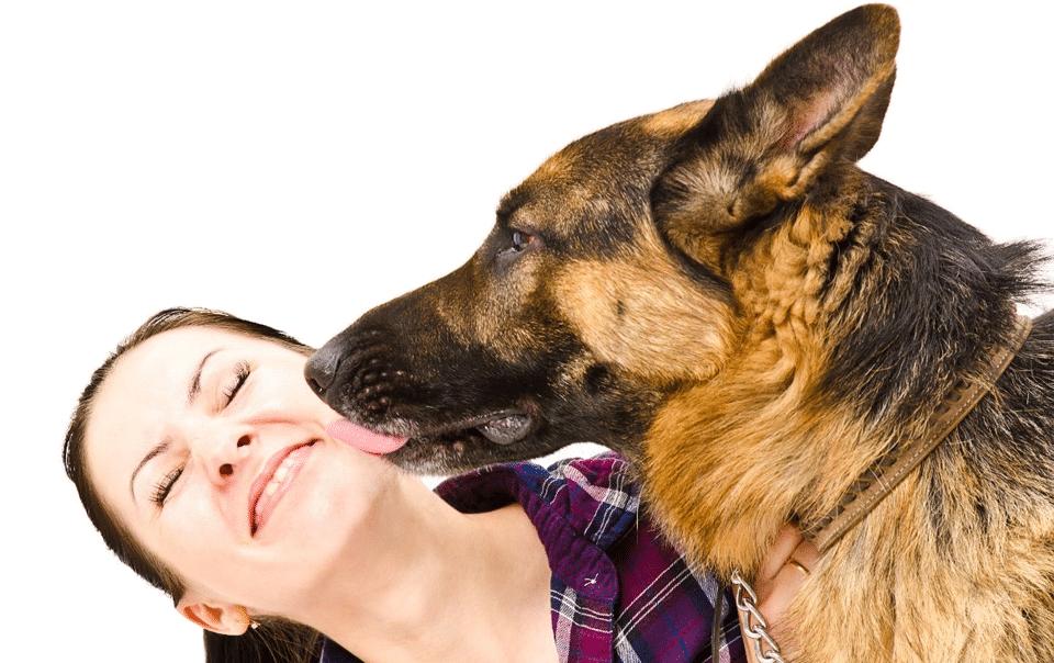 Câine ciobănesc german lingându-și stăpâna.