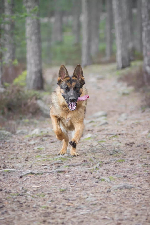 Câine ciobănesc german alergând în pădure.