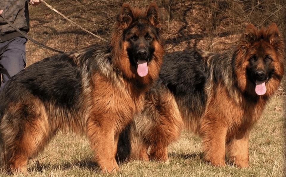 Doi câini ciobănești germani plimbați în lesă.