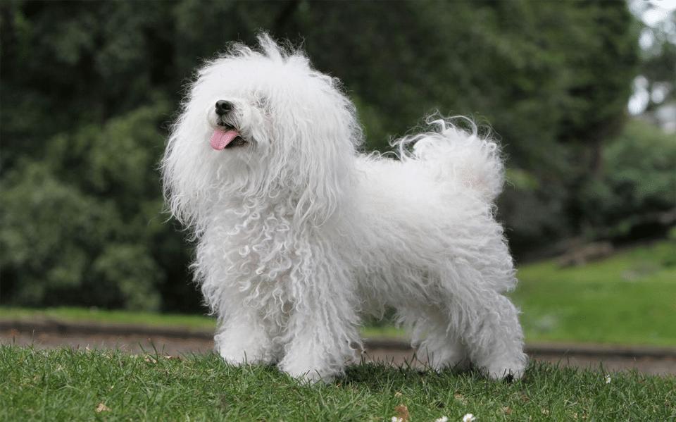 Câine rasa bichon Bolognese stând în iarbă.