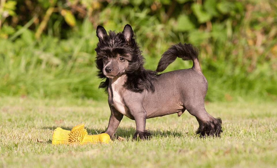 Câine chinez cu creastă stând în iarbă lângă o jucărie galbenă.